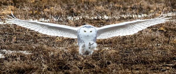 Snowy owl Inbound
