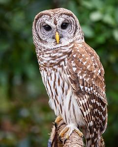 Barred Owl Audubon Center