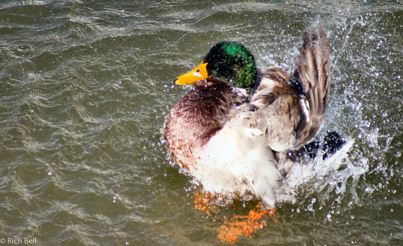 20040915Duck in Boppard Germany on the Rhine River0145