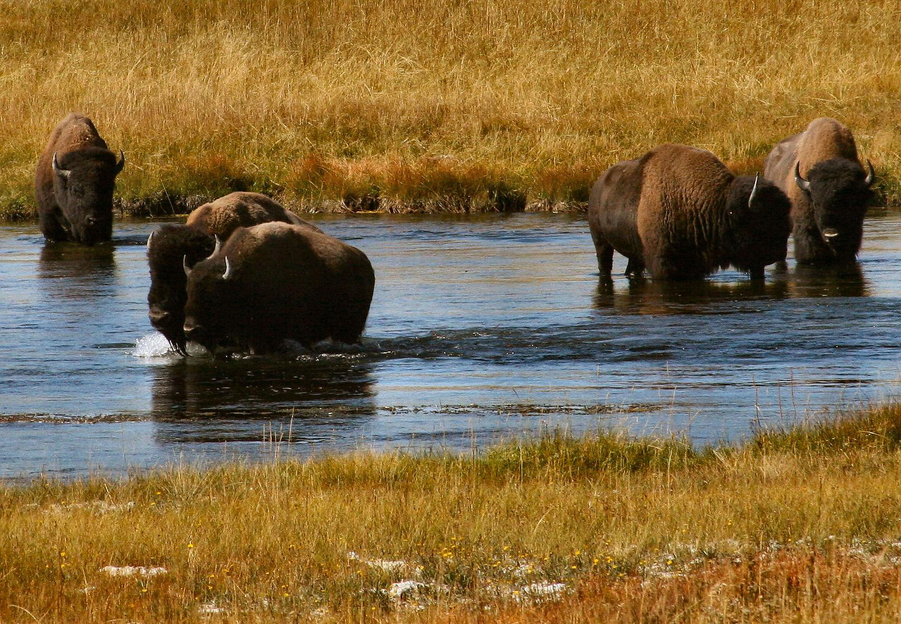 Buffalos in Hayden Valley Yellowstone