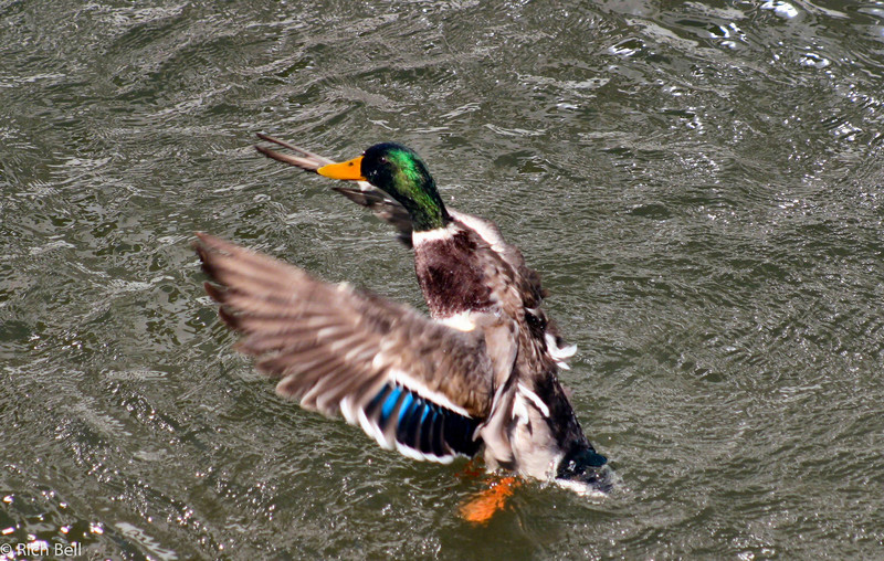 20040915Duck in Boppard Germany on the Rhine River 20144