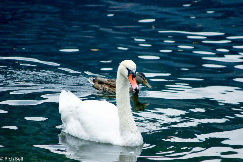 20040921Swan on Hallstatt Lake 30451