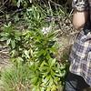 c.1m high flowering