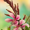 Cherry Brandy Gaura 2