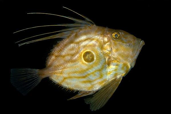 Sanktpersfisk