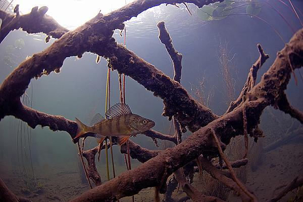 sjunkna träd
