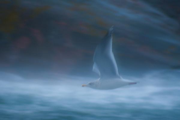 vitfågel i storm