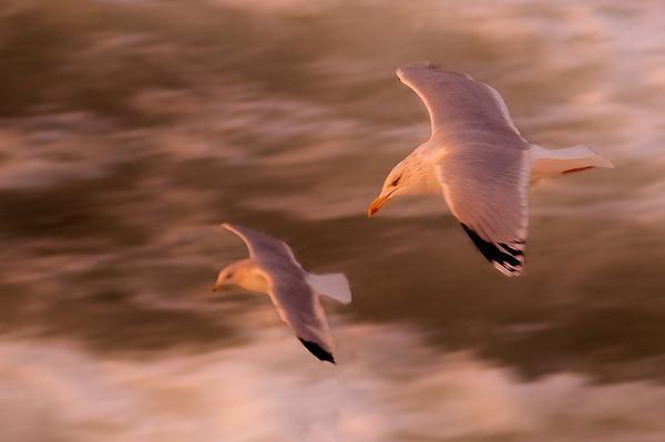måsfåglar