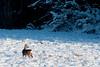 vinter-rådjur