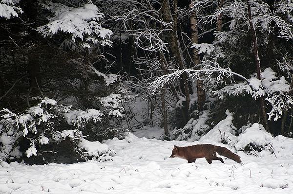 vinter-räv