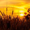 Strå i solnedgang