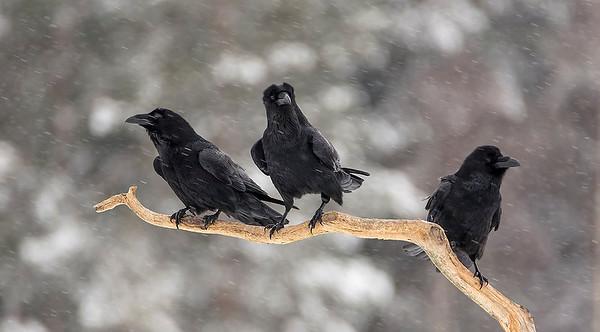 Korpar, Raven