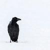 Korp, Raven