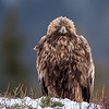 Kungsörn, Golden Eagle