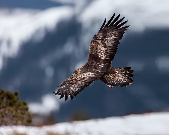 Kungsörn, Golden Eagle