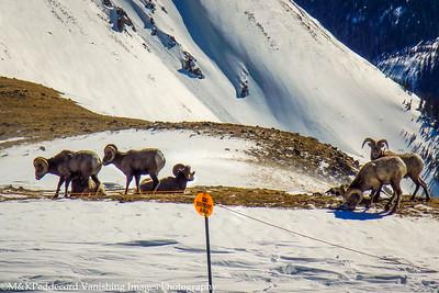 Waiting at the Boundry  -- Big Horn Sheep