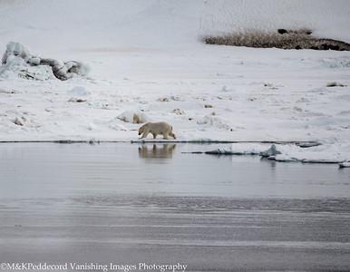 Ice Bear Reflection Arctic Svalbard