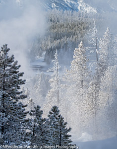 Spruce Pines with Rime Ice