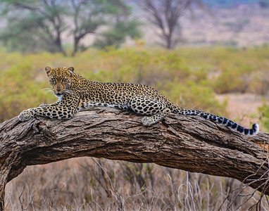 Leopard Watching Tourists