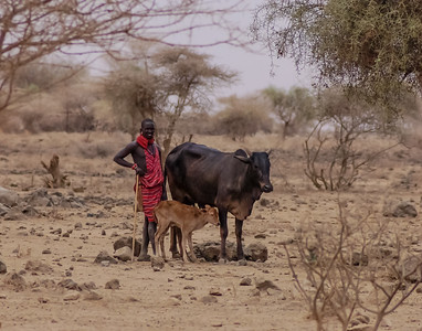 Masai Herder with Cow and Calf