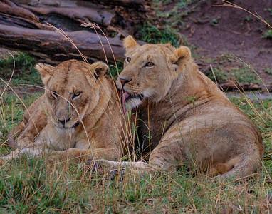 Adolescent Lions