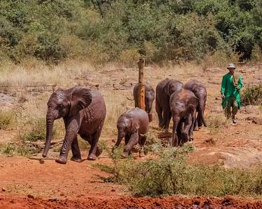 Here Come the Elephants Sheldrick Wildlife Trust Nairobi Kenya