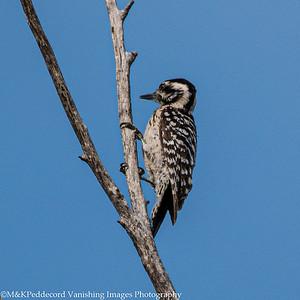 Ladder-back woodpecker,