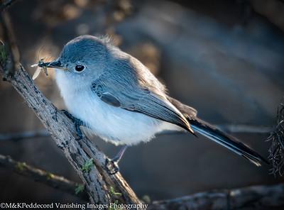 Blue Gray gnatcatcher  Polioptila caerulea