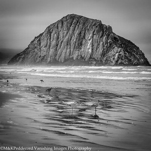 Sand Pipers  Morro Bay Rock