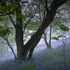 Jubilee Drive Bluebells in the Mist