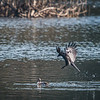 A crow trying to catch a little grebe