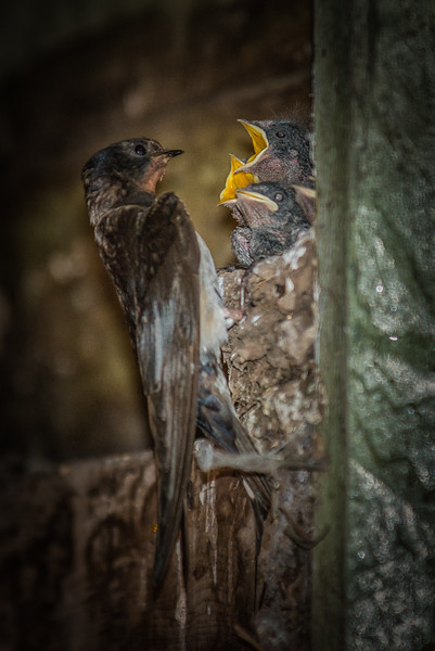 Swallows feeding the young