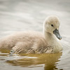 swan chick