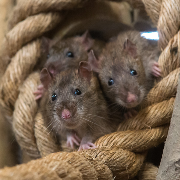 Three brown rats