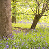 Bluebell woods Everton