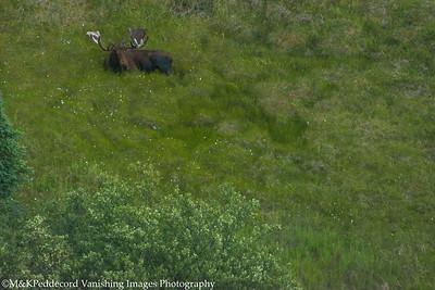 Bull Moose from air