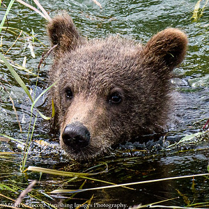 Young Bear Swimming