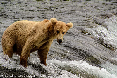 Young Bear on Falls