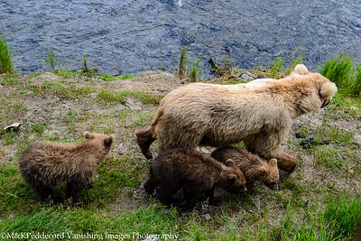 Sow &  3 cubs