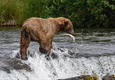 Bear  Catches Salmon on the fly