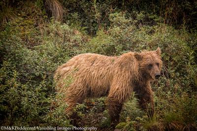 Mother Grizzly Bear   (Ursus arctos horribilis)
