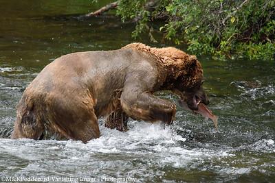 Alpha male Bear w red salmon