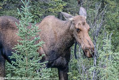 Moose Denali NP