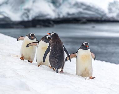 Adelie Lineup Brown Bluff Antarctica