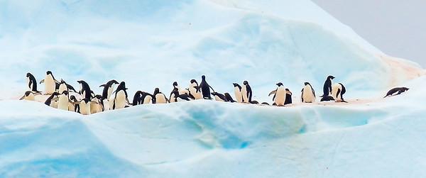 Gentoo Penguins Booth Island Antarctica