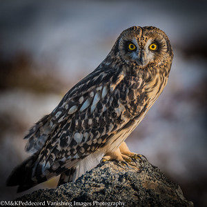 The Eyes Have It ...Short Eared Owl