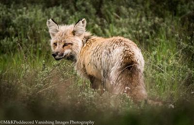 See ya    Fox