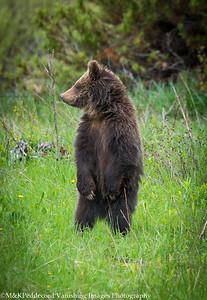 Looking around grizzly cub (Ursus arctos horribilis)