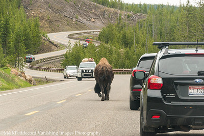 Bison have Right of Way