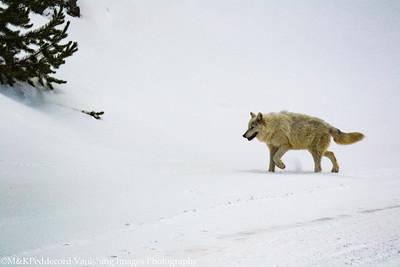 Alpha Female Wolf, Canyon Pack, near Firehole River, Yellowstone NP